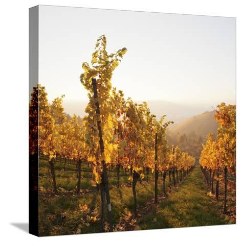 Vineyards in Autumn at Sunset, Stuttgart, Baden-Wurttemberg, Germany, Europe-Markus Lange-Stretched Canvas Print