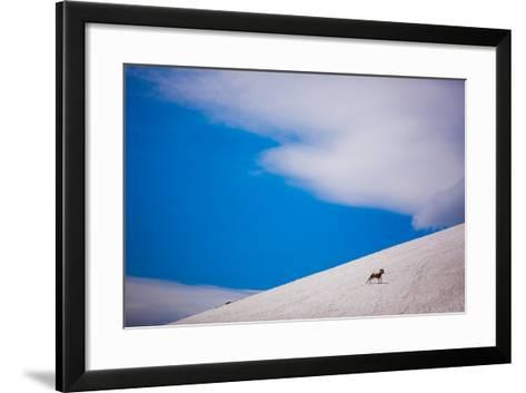 Big Horn Sheep, Glacier National Park, Montana, United States of America, North America-Laura Grier-Framed Art Print