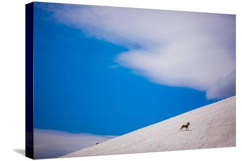 Big Horn Sheep, Glacier National Park, Montana, United States of America, North America-Laura Grier-Stretched Canvas Print