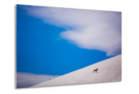 Big Horn Sheep, Glacier National Park, Montana, United States of America, North America-Laura Grier-Metal Print