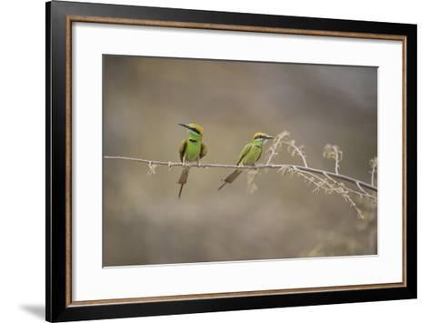 Green Bee Eater, Ranthambhore National Park, Rajasthan, India, Asia-Janette Hill-Framed Art Print