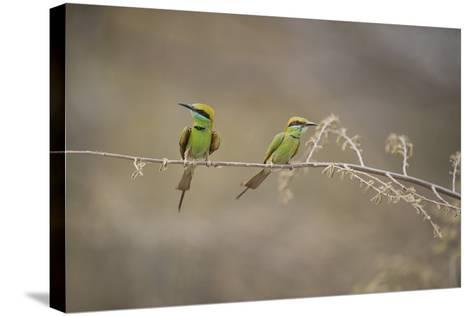 Green Bee Eater, Ranthambhore National Park, Rajasthan, India, Asia-Janette Hill-Stretched Canvas Print