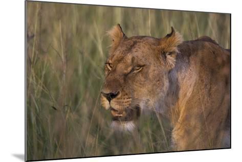 Lion (Panthera Leo), Masai Mara, Kenya, East Africa, Africa-Sergio Pitamitz-Mounted Photographic Print