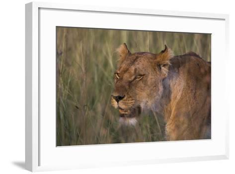 Lion (Panthera Leo), Masai Mara, Kenya, East Africa, Africa-Sergio Pitamitz-Framed Art Print