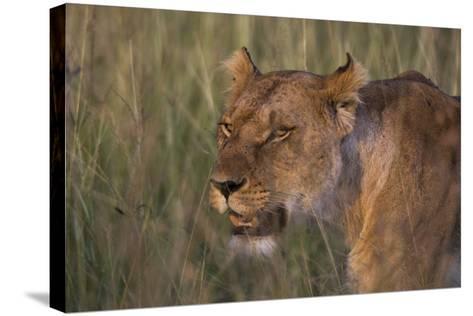 Lion (Panthera Leo), Masai Mara, Kenya, East Africa, Africa-Sergio Pitamitz-Stretched Canvas Print
