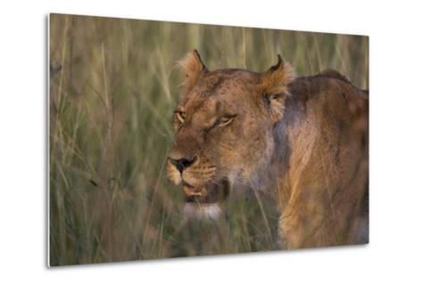 Lion (Panthera Leo), Masai Mara, Kenya, East Africa, Africa-Sergio Pitamitz-Metal Print
