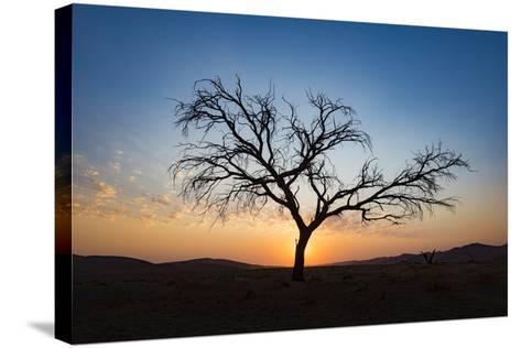 Acacia Tree Near Dune 45 in the Namib Desert at Sunset, Sossusvlei, Namin-Naukluft Park-Alex Treadway-Stretched Canvas Print