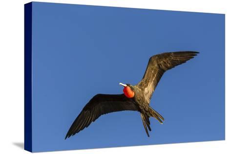 Adult Male Magnificent Frigatebird (Fregata Magnificens), San Gabriel Bay, Espiritu Santo Island-Michael Nolan-Stretched Canvas Print