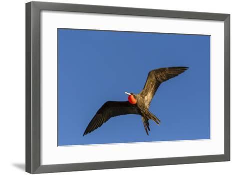 Adult Male Magnificent Frigatebird (Fregata Magnificens), San Gabriel Bay, Espiritu Santo Island-Michael Nolan-Framed Art Print
