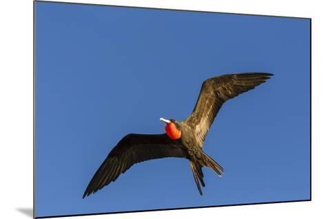 Adult Male Magnificent Frigatebird (Fregata Magnificens), San Gabriel Bay, Espiritu Santo Island-Michael Nolan-Mounted Photographic Print