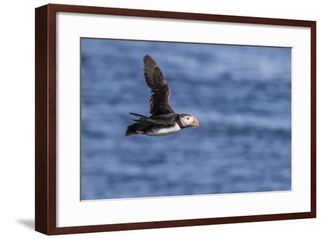 Adult Atlantic Puffin (Fratercula Arctica) in Flight with Fish in its Bill, Snaefellsnes Peninsula-Michael Nolan-Framed Art Print