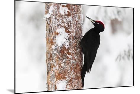 Black Woodpecker (Dryocopus Martius)-Garry Ridsdale-Mounted Photographic Print