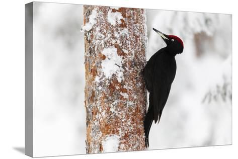 Black Woodpecker (Dryocopus Martius)-Garry Ridsdale-Stretched Canvas Print