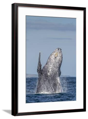 Adult Humpback Whale (Megaptera Novaeangliae), Breaching in the Shallow Waters of Cabo Pulmo-Michael Nolan-Framed Art Print