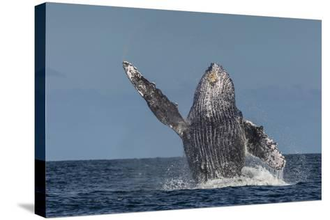 Adult Humpback Whale (Megaptera Novaeangliae), Breaching in the Shallow Waters of Cabo Pulmo-Michael Nolan-Stretched Canvas Print