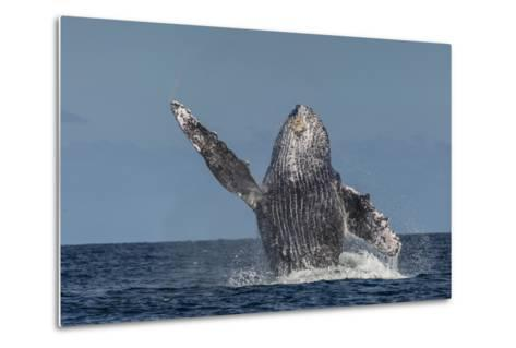 Adult Humpback Whale (Megaptera Novaeangliae), Breaching in the Shallow Waters of Cabo Pulmo-Michael Nolan-Metal Print