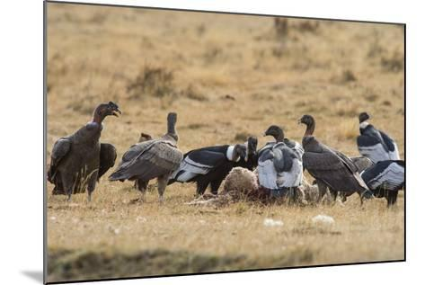 Andean Condor (Vultur Gryphus), Patagonia, Chile, South America-Pablo Cersosimo-Mounted Photographic Print