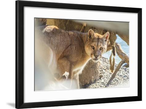 Puma (Puma Concolor) (Wild Puma), Patagonia, Chile, South America-Pablo Cersosimo-Framed Art Print