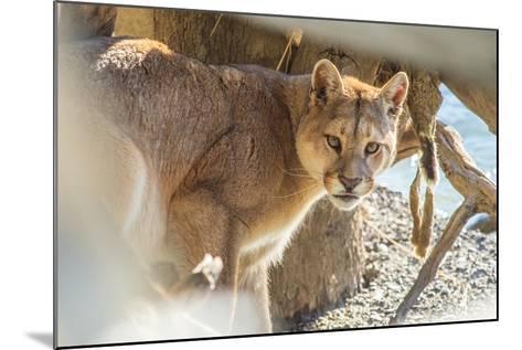 Puma (Puma Concolor) (Wild Puma), Patagonia, Chile, South America-Pablo Cersosimo-Mounted Photographic Print