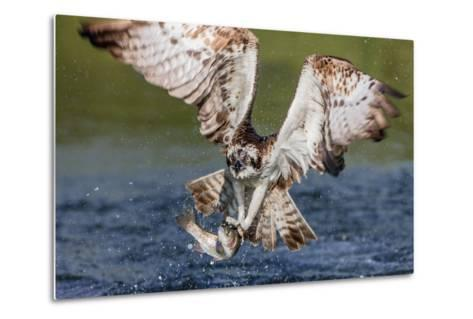 Osprey (Pandion Haliaetus) Flying Head on Above a Pond with a Fish Firmly Grasped in its Talons-Garry Ridsdale-Metal Print