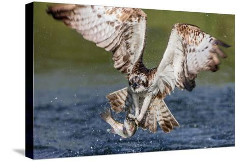 Osprey (Pandion Haliaetus) Flying Head on Above a Pond with a Fish Firmly Grasped in its Talons-Garry Ridsdale-Stretched Canvas Print