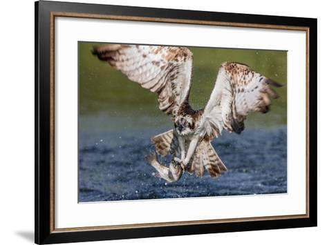 Osprey (Pandion Haliaetus) Flying Head on Above a Pond with a Fish Firmly Grasped in its Talons-Garry Ridsdale-Framed Art Print