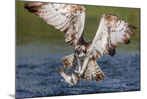 Osprey (Pandion Haliaetus) Flying Head on Above a Pond with a Fish Firmly Grasped in its Talons-Garry Ridsdale-Mounted Photographic Print
