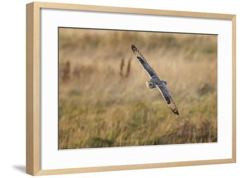 Short-Eared Owl (Asio Flammeus) Manoeuvring In-Flight While Hunting for Prey Above Marsh Land-Garry Ridsdale-Framed Art Print