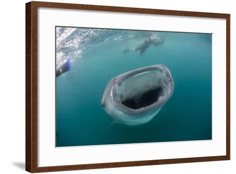 Whale Shark (Rhincodon Typus), Underwater with Snorkelers Off El Mogote, Near La Paz-Michael Nolan-Framed Art Print