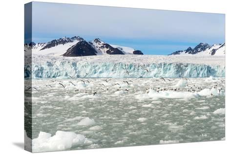 Black-Legged Kittiwakes (Rissa Tridactyla) on Ice Floe, Lilliehook Glacier in Lilliehook Fjord-G&M Therin-Weise-Stretched Canvas Print