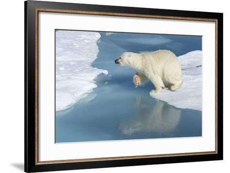 Male Polar Bear (Ursus Maritimus) Jumping over Ice Floes and Blue Water-G&M Therin-Weise-Framed Art Print