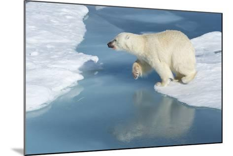 Male Polar Bear (Ursus Maritimus) Jumping over Ice Floes and Blue Water-G&M Therin-Weise-Mounted Photographic Print