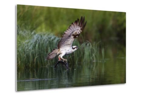 A Satellite Tracked Osprey (Pandion Haliaetus) Flying Above a Small Loch with a Fish in its Talons-Garry Ridsdale-Metal Print