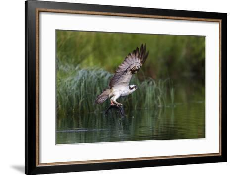 A Satellite Tracked Osprey (Pandion Haliaetus) Flying Above a Small Loch with a Fish in its Talons-Garry Ridsdale-Framed Art Print