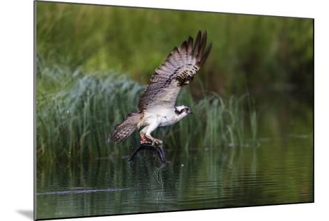A Satellite Tracked Osprey (Pandion Haliaetus) Flying Above a Small Loch with a Fish in its Talons-Garry Ridsdale-Mounted Photographic Print