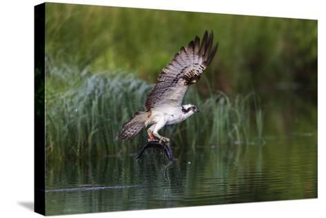 A Satellite Tracked Osprey (Pandion Haliaetus) Flying Above a Small Loch with a Fish in its Talons-Garry Ridsdale-Stretched Canvas Print