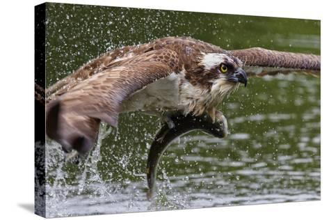 Osprey (Pandion Haliaetus) Flying Low Above the Water with a Freshly Caught Fish in its Grasp-Garry Ridsdale-Stretched Canvas Print