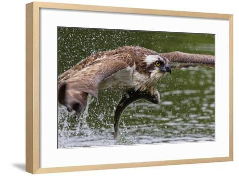 Osprey (Pandion Haliaetus) Flying Low Above the Water with a Freshly Caught Fish in its Grasp-Garry Ridsdale-Framed Art Print