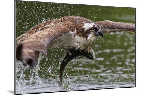 Osprey (Pandion Haliaetus) Flying Low Above the Water with a Freshly Caught Fish in its Grasp-Garry Ridsdale-Mounted Photographic Print