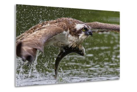 Osprey (Pandion Haliaetus) Flying Low Above the Water with a Freshly Caught Fish in its Grasp-Garry Ridsdale-Metal Print