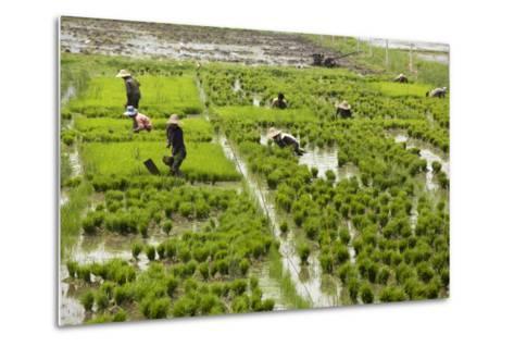 Tending the Rice Paddies, Shan State, Myanmar (Burma), Asia-Colin Brynn-Metal Print