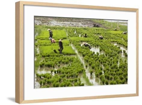 Tending the Rice Paddies, Shan State, Myanmar (Burma), Asia-Colin Brynn-Framed Art Print