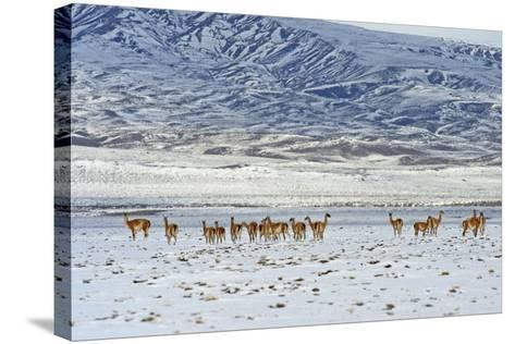 Guanaco (Lama Guanicoide), Patagonia, Argentina, South America-Pablo Cersosimo-Stretched Canvas Print