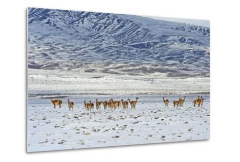 Guanaco (Lama Guanicoide), Patagonia, Argentina, South America-Pablo Cersosimo-Metal Print