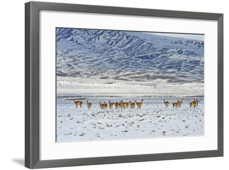 Guanaco (Lama Guanicoide), Patagonia, Argentina, South America-Pablo Cersosimo-Framed Art Print