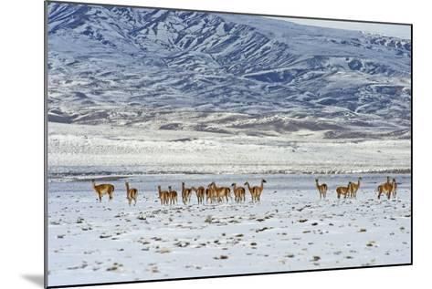 Guanaco (Lama Guanicoide), Patagonia, Argentina, South America-Pablo Cersosimo-Mounted Photographic Print