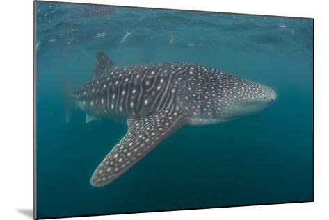 Whale Shark (Rhincodon Typus), Filter Feeding Underwater Off El Mogote, Near La Paz-Michael Nolan-Mounted Photographic Print
