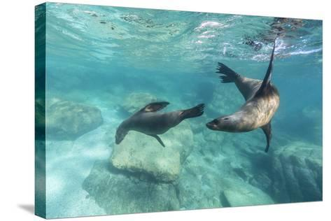 California Sea Lions (Zalophus Californianus), Playing Underwater at Los Islotes-Michael Nolan-Stretched Canvas Print