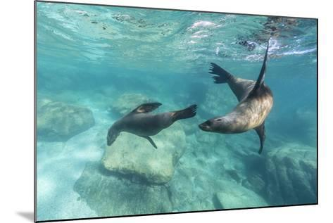 California Sea Lions (Zalophus Californianus), Playing Underwater at Los Islotes-Michael Nolan-Mounted Photographic Print