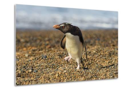 Rockhopper Penguin (Eudyptes Crestatus), Patagonia, Argentina, South America-Pablo Cersosimo-Metal Print